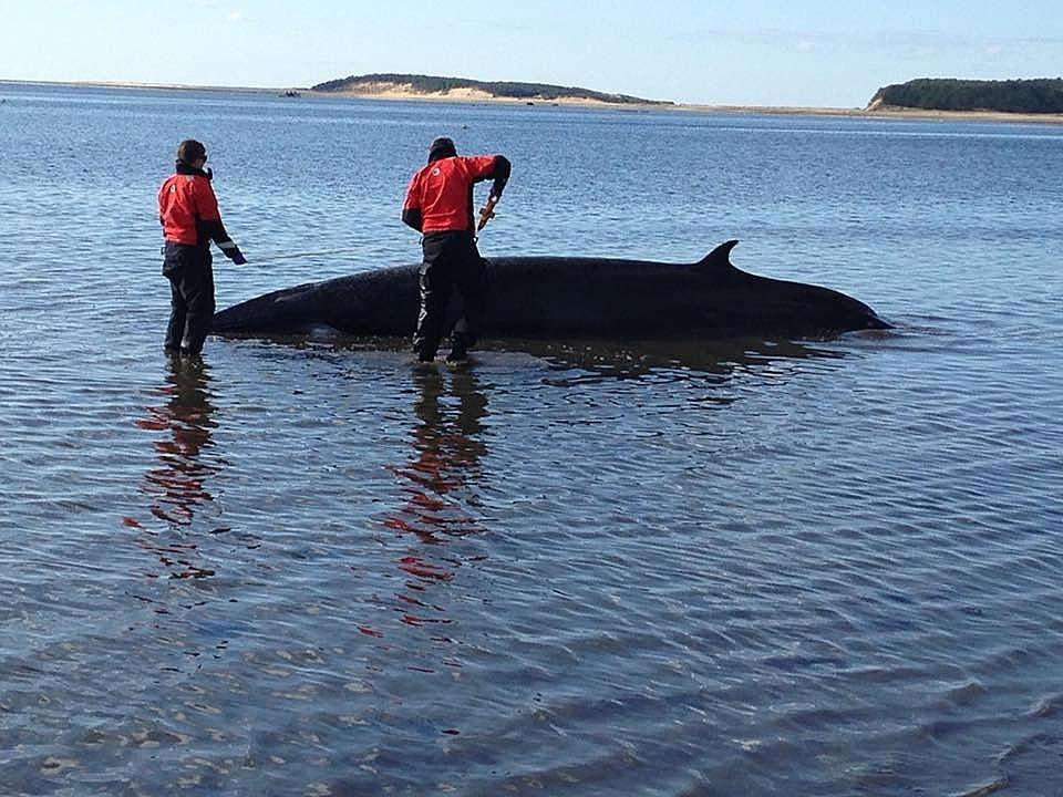 A stranded minke whale off a Wellfleet beach Thursday morning. An IFAW rescue team worked to refloat the whale.