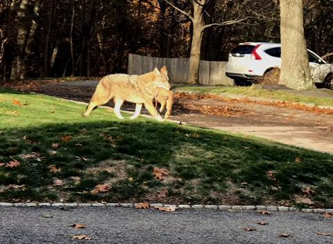 A coyote carried a cat in its mouth in Newton.