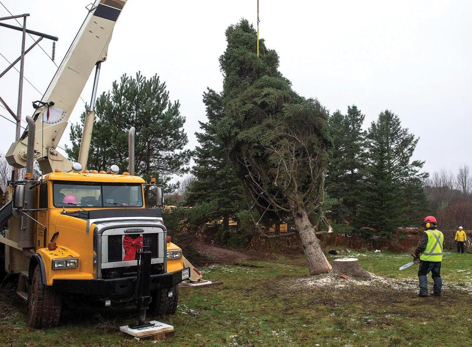 Dan Nightingale, right, fells a 43 foot (13-meter) tall white spruce, this year's Christmas tree for Boston, donated by John and Ethel Ann MacPherson, in Purlbrook, Nova Scotia, Canada, on Monday, Nov.17, 2014. Since 1971, Nova Scotia has given a tree to the people of Boston in gratitude for their assistance following the Halifax Explosion in 1917. (AP Photo/The Canadian Press, Andrew Vaughan)