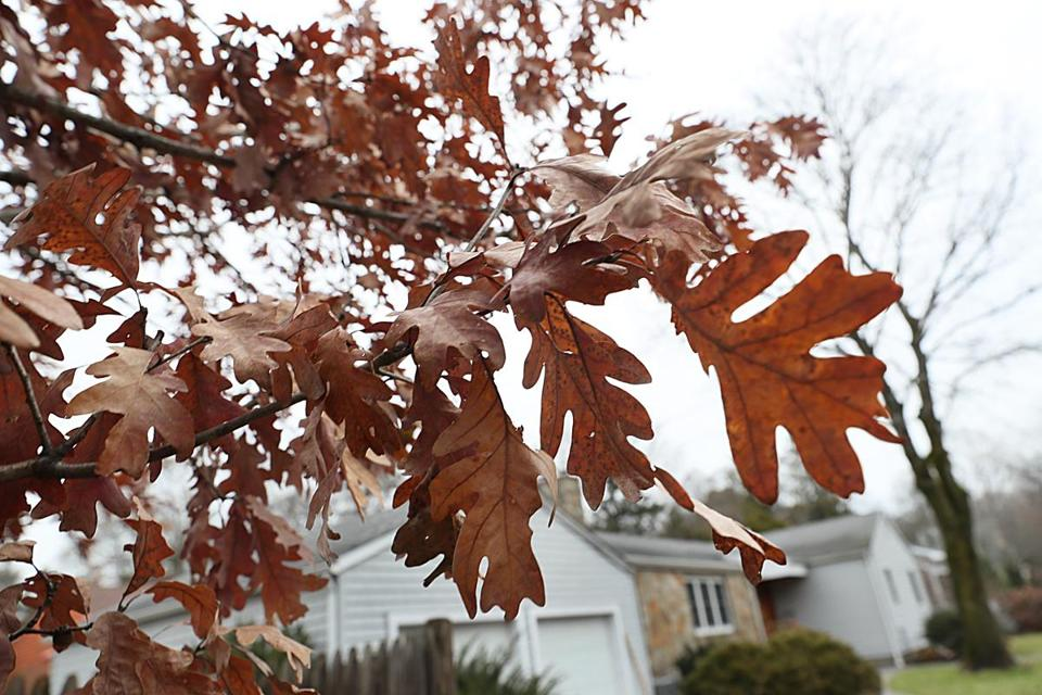 Newton, Ma., 12/06/17, Deciduous trees are holding onto their leaves late into the season, causing some alarm. Suzanne Kreiter/Globe staff