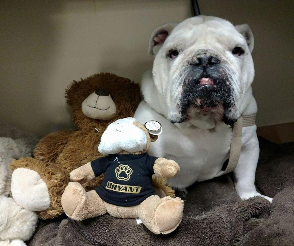 Tupper was Bryant's first live mascot, and was donated to the school in 2010.
