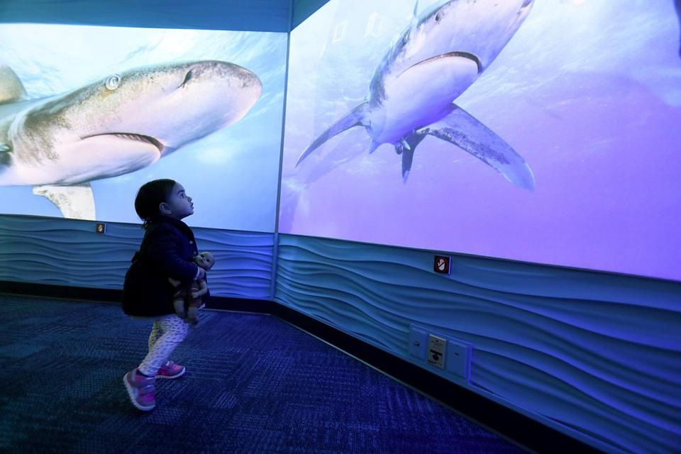 "(Do not use before April 13, 2017) Boston, MA., 04/07/17, One and a half year old Eleanor Buckley, cq, watches the sharks. A new exhibit at the New England Aquarium called the ""Science of Sharks,'' opens on April 14. Globe staff/Suzanne Kreiter"