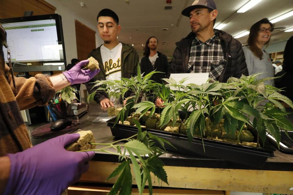 A clerk showed marijuana plants to customers at the Harborside cannabis dispensary in Oakland on New Year's Day.