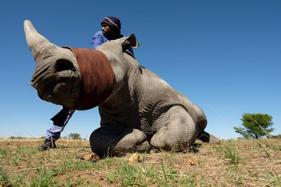 UNSPECIFIED, SOUTH AFRICA - OCTOBER 16: A member of the farm team stands with a sedated and blindfolded white rhino, before it has it's horn trimmed at the ranch of rhino breeder John Hume, on October 16, 2017 in the North West Province of South Africa. John Hume is currently the owner of around 1500 white and black rhinos, which he keeps under armed guard on his 8000 hectare property. In a bid to prevent poaching and conserve the different species of rhino, the horns of the animals are regularly trimmed, with 264 of the off-cuts recently being placed on sale at auction. The controversial decision to sell the horns was made on the basis that the illegal market creates an inflated value, while a controlled system would lower the prices and the need to poach. Mr Hume believes that the only way to ensure that the rhino does not become extinct is through farming the animals on a large scale and legalising the sale of rhino horn globally. (Photo by Leon Neal/Getty Images)