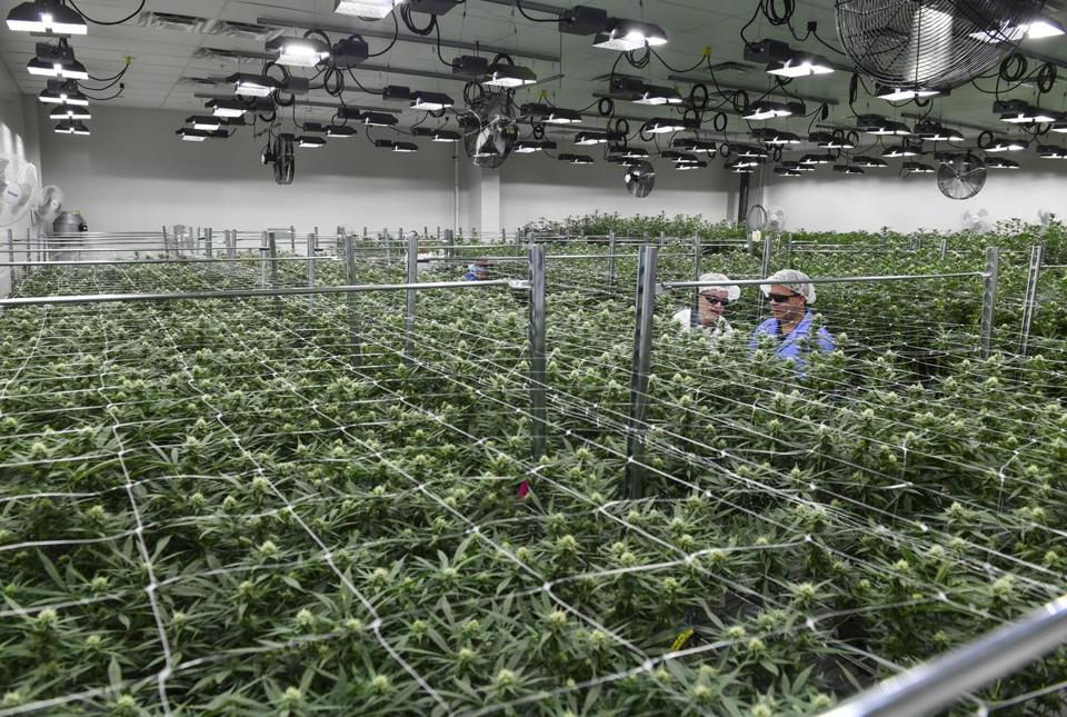 Green Leaf Medical CEO, Philip Goldberg, second from right, and his brother and general council, Kevin Goldberg, right, inspect the marijuana plants as they walk through one of the flower rooms at Green Leaf Medical in Frederick, Maryland. MUST CREDIT: Washington Post photo by Ricky Carioti