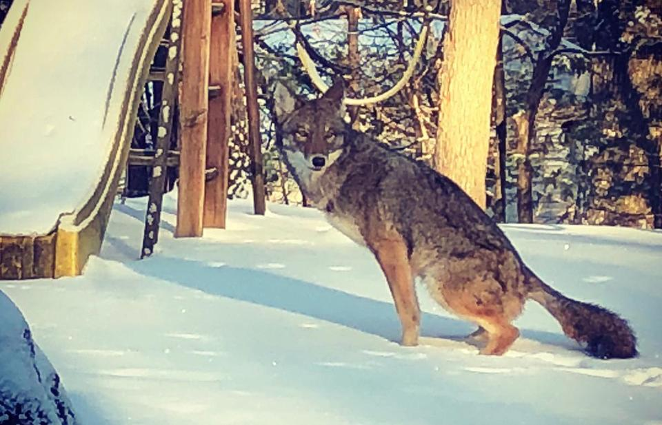 A coyote pauses in a Waban yard in January.