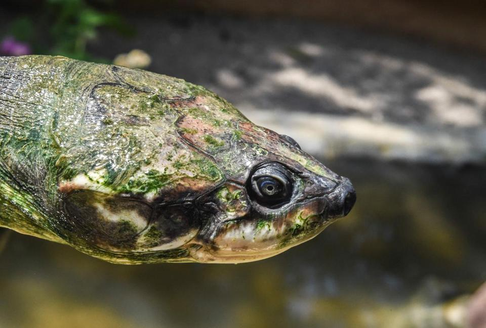 A 60-year-old river turtle of the endangered species Podocnemis Lewyana, at a turtle farm in Colombia. Researchers say turtles and other cold-blooded animals, that can't regulate their own body temperatures, could have a harder time during climate change.