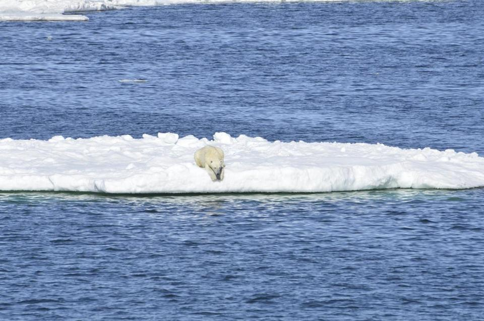 In this June 15, 2014 photo provided by the United States Geological Survey, a polar bear rests on a chunk of sea ice in the Arctic. A new study released on Thursday, Feb. 1, 2018 shows some polar bears in the Arctic are shedding pounds during the time they are supposed to be beefing up. Scientists blame climate change for shrinking the ice cover on the Arctic Ocean that the polar bears need for hunting. (Brian Battaile/USGS via AP)