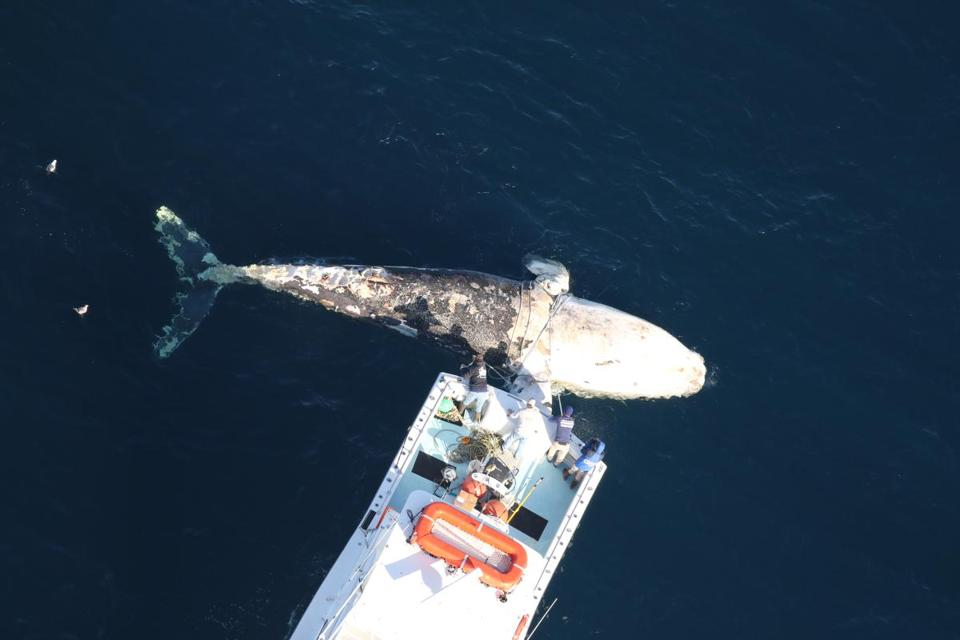 A tug boat last month towed a right whale carcass to shore in the Virginia Beach, Va., area, where researchers planned to perform a necropsy to determine the cause of its death.