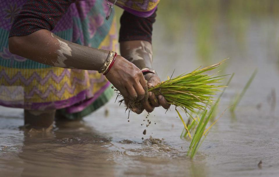 An Indian woman replants rice saplings in a paddy field on the outskirts of Gauhati, India, Tuesday, Jan. 30, 2018. More than 70 percent of India's 1.25 billion citizens engage in agriculture. (AP Photo/Anupam Nath)