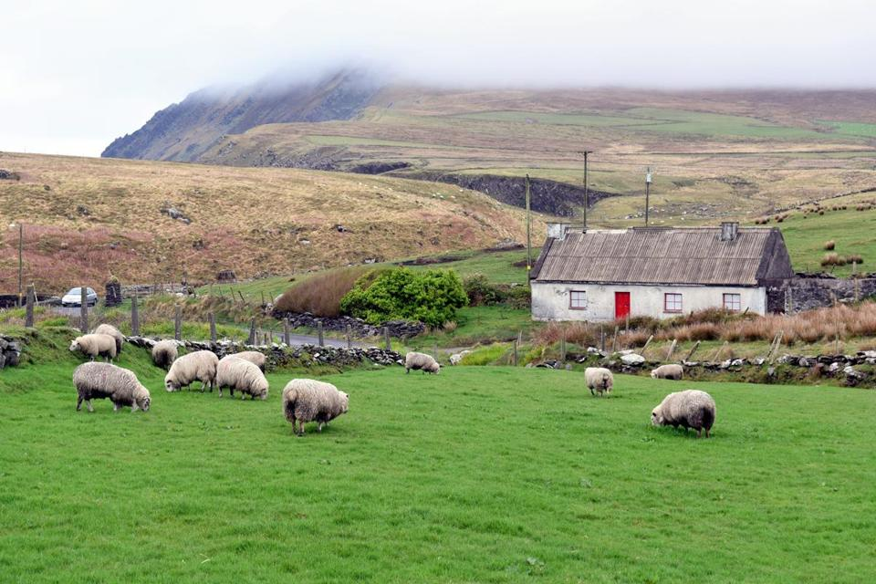 Sheep graze on a farm on the Dingle Peninsula.