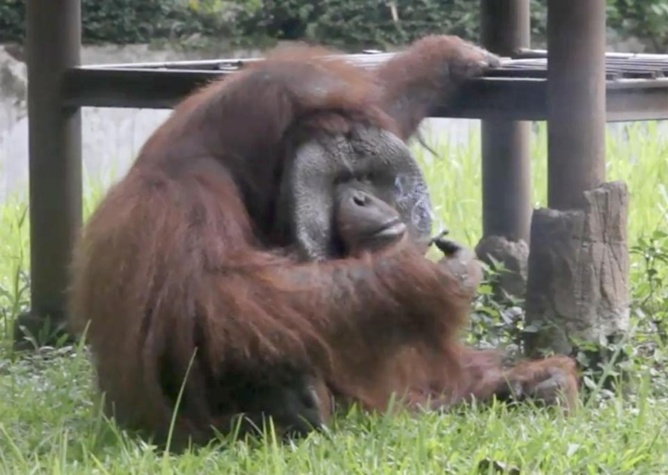 "This video frame grab taken on March 4, 2018 and released by the Indonesia Animal Welfare Society March 7 shows a Bornean orangutan named Ozon smoking a cigarette in its zoo enclosure in Bandung, about 150 kilometres southeast of Jakarta. Indonesia can now add a smoking orangutan to its roster of nicotine addicts. A video taken on March 4 shows the hairy creature picking up a cigarette butt that was flicked into its zoo enclosure by a visitor and then puffing away on it like a pro. / AFP PHOTO / Indonesia Animal Welfare Society / Handout / RESTRICTED TO EDITORIAL USE - MANDATORY CREDIT ""AFP PHOTO /INDONESIA ANIMAL WELFARE SOCIETY"" - NO MARKETING NO ADVERTISING CAMPAIGNS - DISTRIBUTED AS    A SERVICE TO CLIENTS == NO ARCHIVE HANDOUT/AFP/Getty Images"