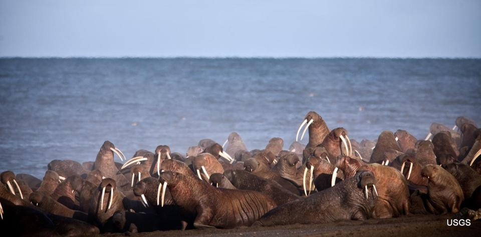 FILE - In this September 2013, file photo provided by the United States Geological Survey (USGS), walruses gather to rest on the shores of the Chukchi Sea near the coastal village of Point Lay, Alaska. A national environmental organization seeking additional protections for Pacific walrus is suing the Trump administration for failing to list the marine mammals as a threatened species. (Ryan Kingsbery/USGS via AP, File)