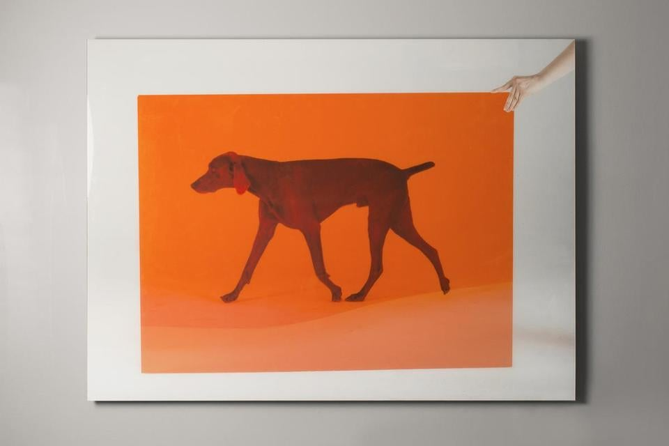 One of William Wegman's pigment prints on display at the Museum of Dog in North Adams.
