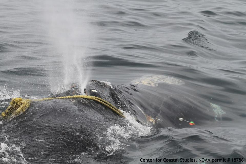 Center for Coastal Studies rescuers attempted to save a right whale by firing cutting arrows at rope wrapped around it.