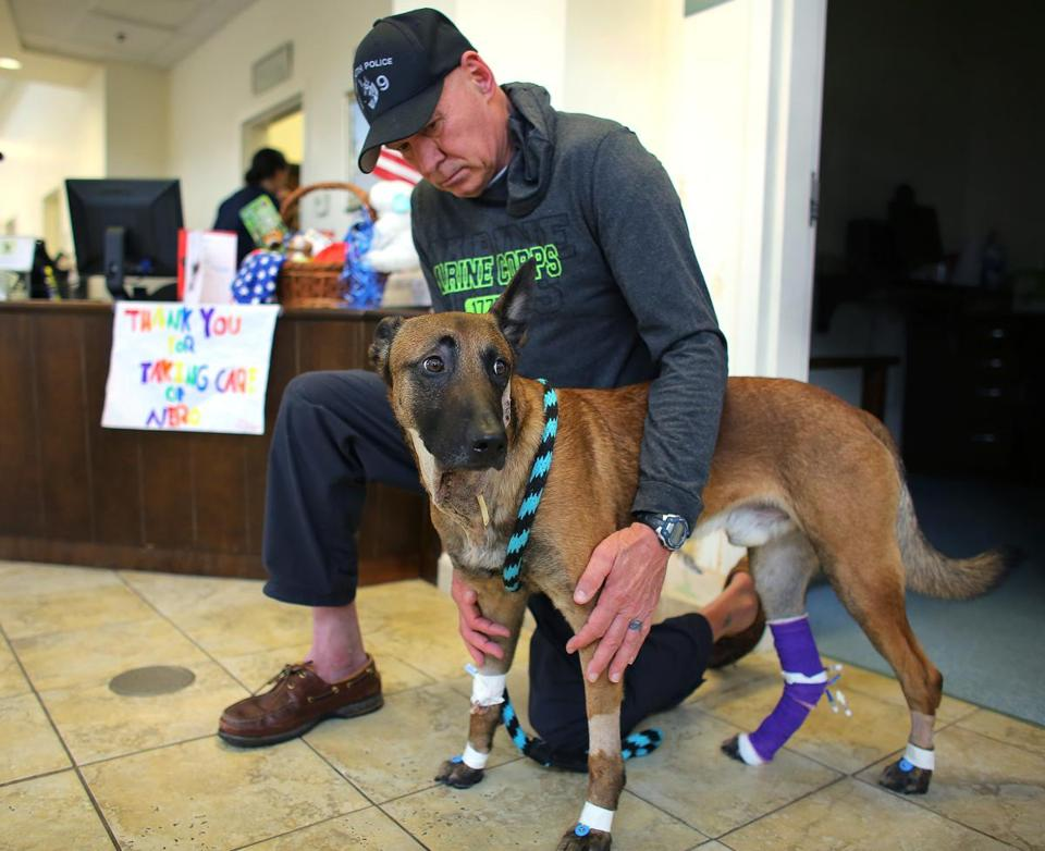 Retired Yarmouth canine handler Peter McClelland, who helped raise and train Nero, is now his constant companion. Nero is recovering at Cape Cod Veterinary Specialists, in Buzzards Bay, after being shot.
