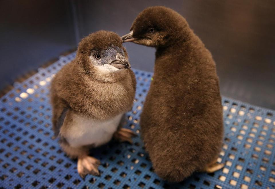 A pair of little blue penguin chicks at the New England Aquarium in Boston.