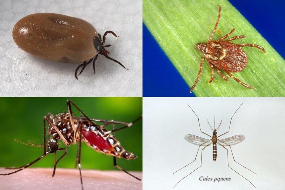 Clockwise from top left: The deer tick, which transmits Lyme disease; the American dog tick, which transmits Rocky Mountain spotted fever and tularemia; the Culex pipiens mosquito, which transmits West Nile virus; and the Aedes aegypti mosquito, which transmits Zika, dengue, and chikungunya.