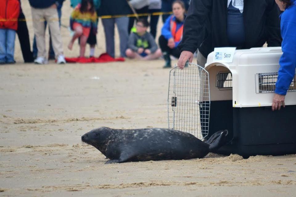 Two New Hampshire seals were released back into the ocean in Sagamore on Sunday, after spending two months recovering from the brutal March nor'easters.