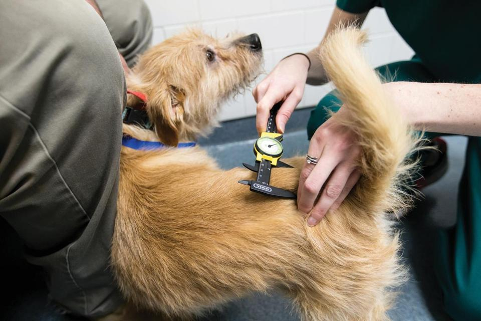 04/02/2018 NORTH GRAFTON, MA Terrier mix Gunther (cq) has his tumor measured by Dr. Abbey Sadowski (cq) at the Cummings Veterinary Medical Center at Tufts University in North Grafton. (Aram Boghosian for The Boston Globe)