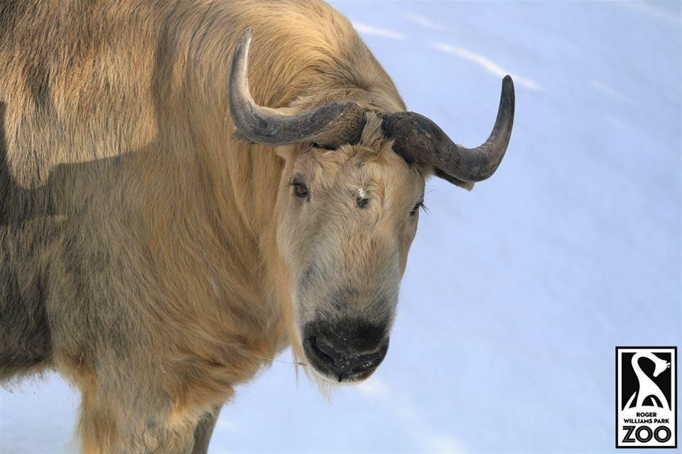 Har-Lee the takin escaped from its enclosure at Roger Williams Park Zoo on Tuesday morning.
