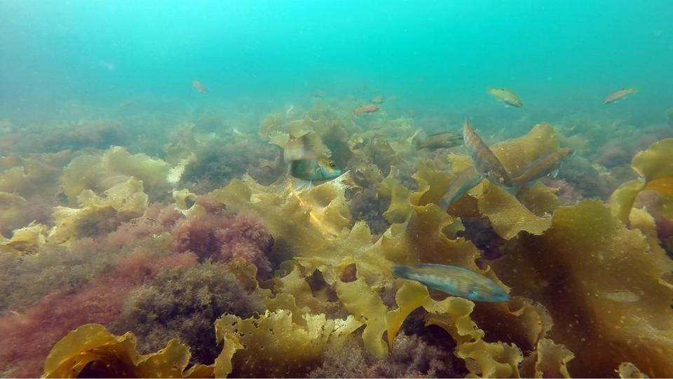 Cunner, a common species of fish in the Gulf of Maine, prefer to take refuge in native kelp to invasive species of lower-turf seaweed that have recently been taking over in the habitat, researchers at UNH say.