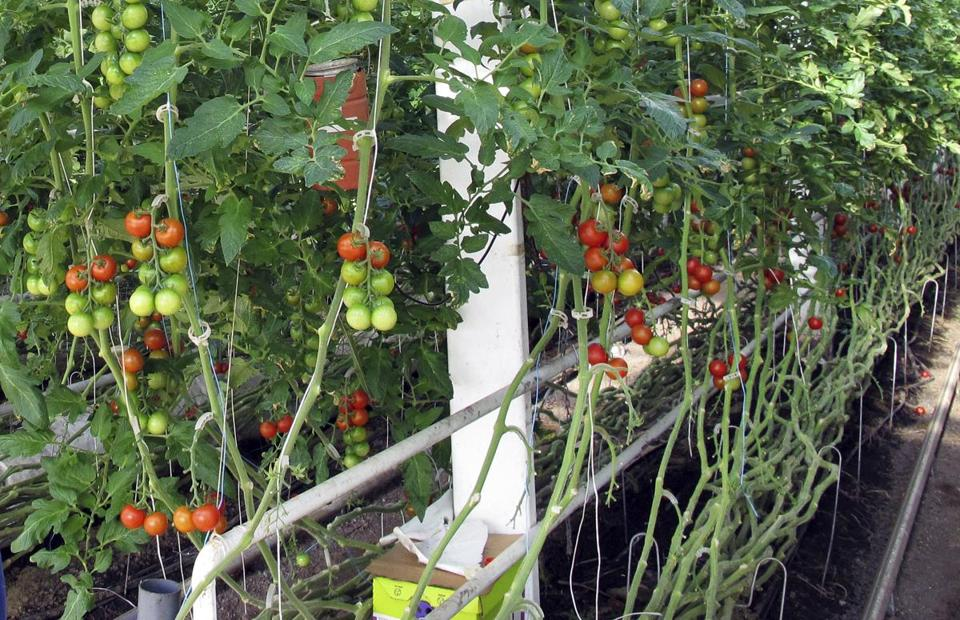 In this April 2, 2018, photo, organic tomatoes grow on vines planted in soil in a greenhouse at Long Wind Farm in Thetford, Vt. Owner Dave Chapman is a leader of a farmer-driven effort to create an additional organic label that would exclude hydroponic farming and concentrated animal feeding operations. (AP Photo/Lisa Rathke)