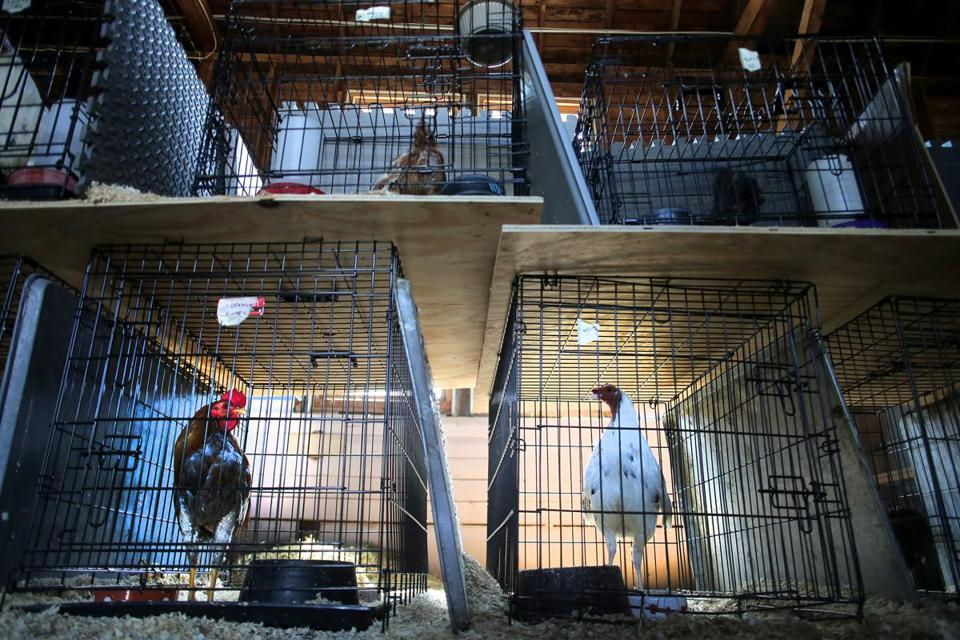 The bust is one of the largest-ever of an alleged cockfighting operation in the state. No charges have been filed yet. Above: The birds at the MSPCA-Nevins Farm in Methuen on Tuesday.