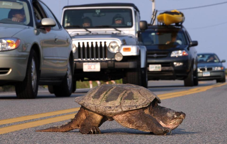Falmouth, MA 7/28/08 A snapping turtle holds up traffic on Surf Drive as it crosses the street. (Bill Greene/ Globe Staff) Library Tag 07292008
