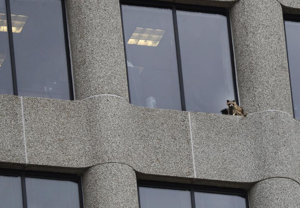 A raccoon sits on the ledge of an office window in the UBS Tower in downtown St. Paul, Minn., Tuesday, June 12, 2018. The raccoon stranded on the ledge of the building, captivated onlookers and generated interest on social media after it started scaling the office building. (Richard Tsong-Taatarii/Star Tribune via AP)