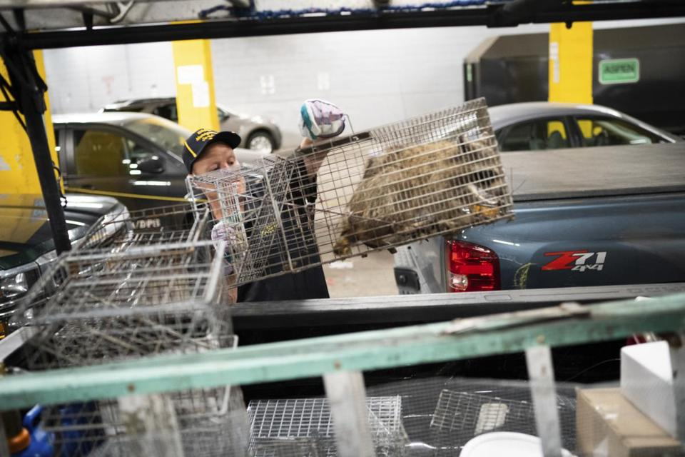 "A raccoon is loaded in the back of a Wildlife Management Services pickup truck in the loading dock of the UBS Plaza in St. Paul, Minn. on Wednesday, June 13, 2018. Nearby Minnesota Public Radio branded the raccoon with the hashtag #mprraccoon. The woodland creature also had its own Twitter account, with one tweet saying, ""I made a big mistake."" Many feared for the raccoon's safety. The raccoon will be released in the wild. (Evan Frost/Minnesota Public Radio via AP)"