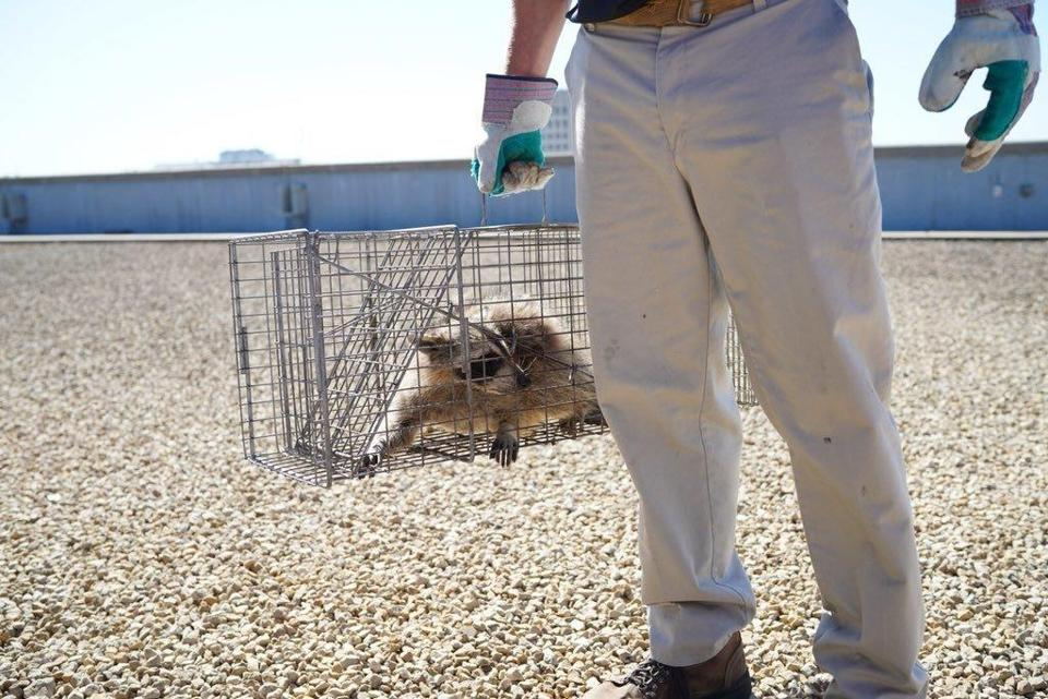 "The raccoon that scaled the UBS Plaza was caught in a live trap baited with cat food overnight in St. Paul, Minn., and was picked up by Wildlife Management Services Wednesday, June 13, 2018. Nearby Minnesota Public Radio branded the raccoon with the hashtag #mprraccoon. The woodland creature also had its own Twitter account, with one tweet saying, ""I made a big mistake."" Many feared for the raccoon's safety. The raccoon will be released in the wild. (Evan Frost/Minnesota Public Radio via AP)"