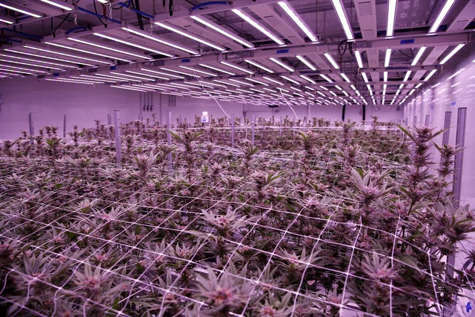 Marijuana plants grow inside a flowering room at Revolutionary Clinics marijuana cultivation facility.