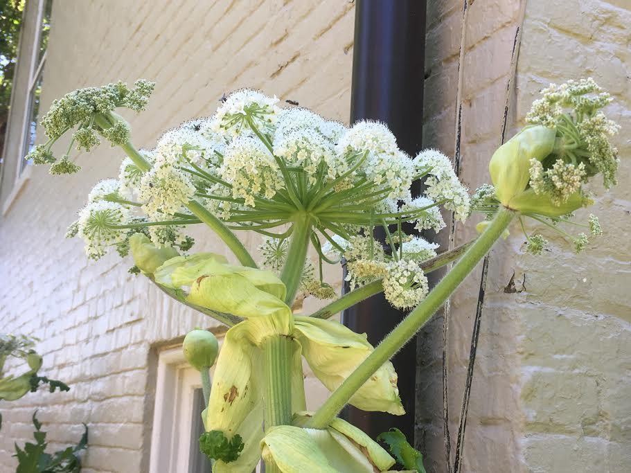 The toxic plant giant hogweed was first spotted in Virginia last week. It still exists in 14 Massachusetts towns and cities.
