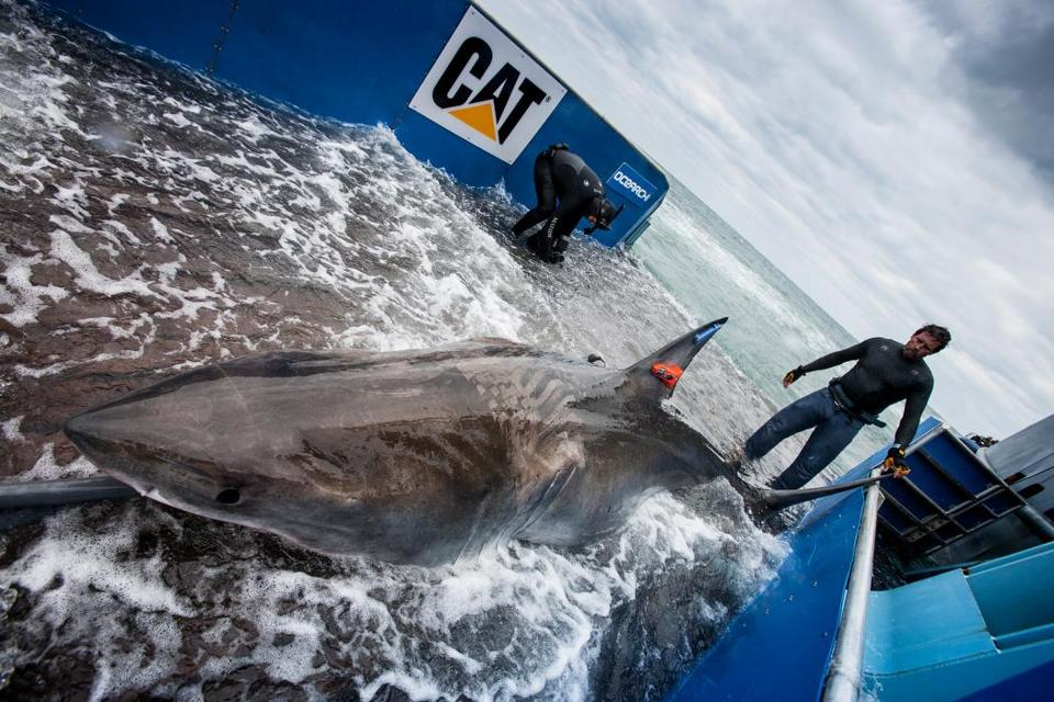 This shark, caught and tagged off Florida, was one of those whose movements were studied.