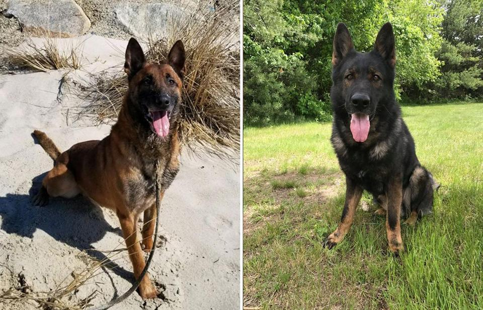State Police this week posted a notice to Facebook alerting the public that the agency is seeking Òforever homesÓ for two of its retired K-9 officers. (Massachusetts State Police)