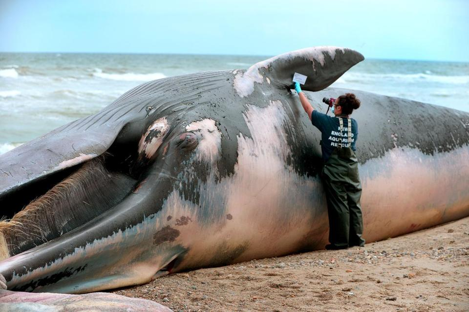 Duxbury-08/20/18-A fin whale washed up on Duxbury Beach, as Linda Lory, a senior biologist with the New England Aquarium took measurements and photos at the scene. (Debee Tlumacki for The Boston Globe)