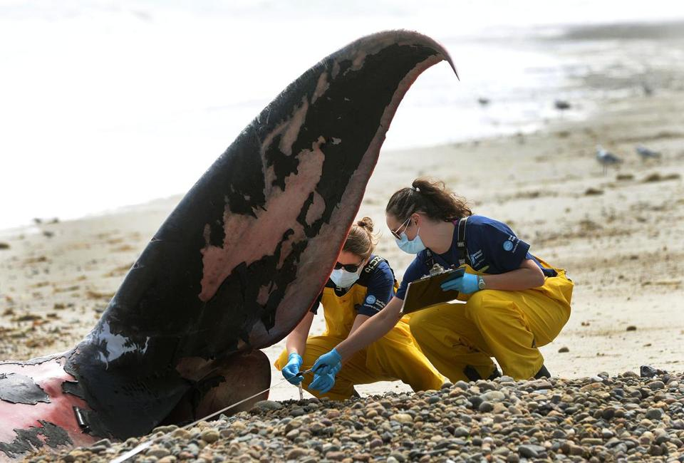 Duxbury-08/20/18-A fin whale washed up on Duxbury Beach, as members of the New England Aquarium took measurements and photos at the scene. The examine the tail. (Debee Tlumacki for The Boston Globe)