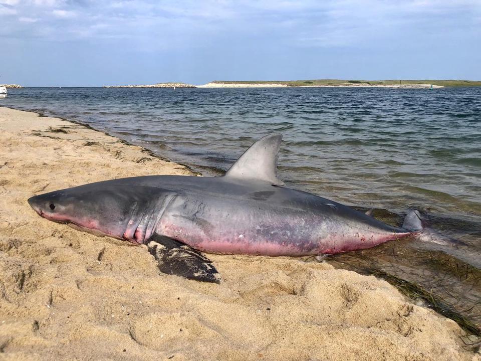 Dead Great White Shark Found On Truro Beach The Boston Globe