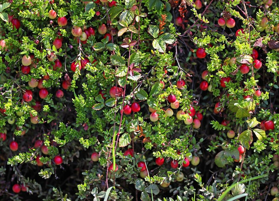 facing a glut cranberry farmers want to dump part of the harvest so