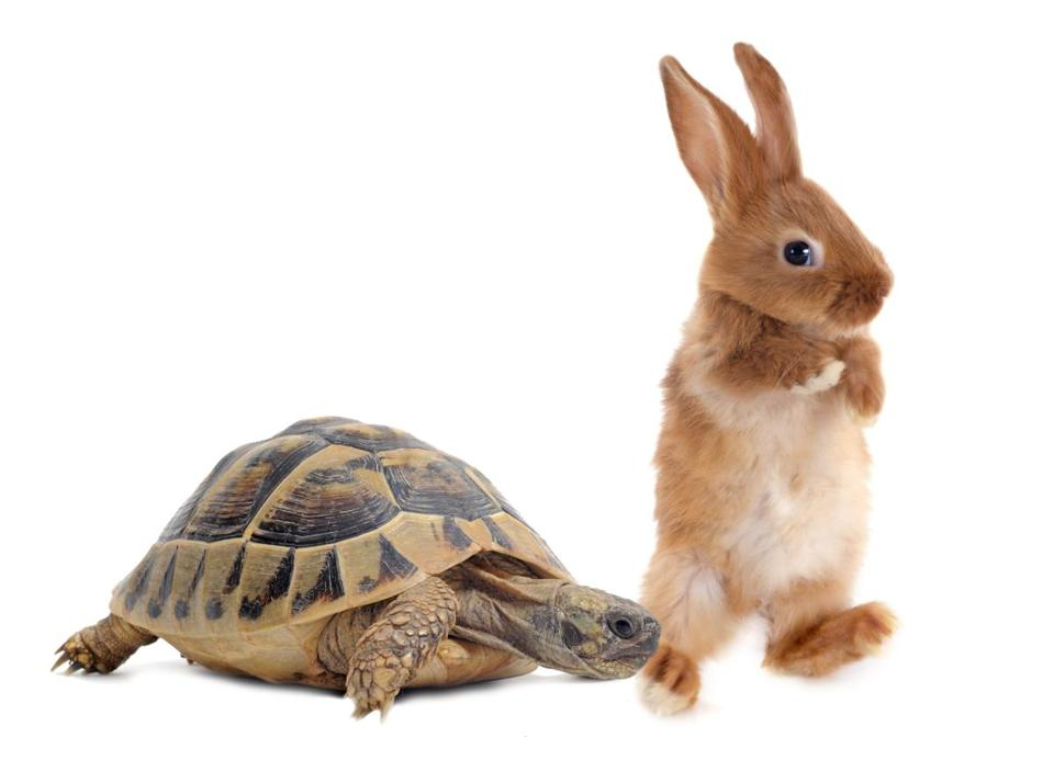 Testudo hermanni tortoise and rabbit make a race on a white isolated background