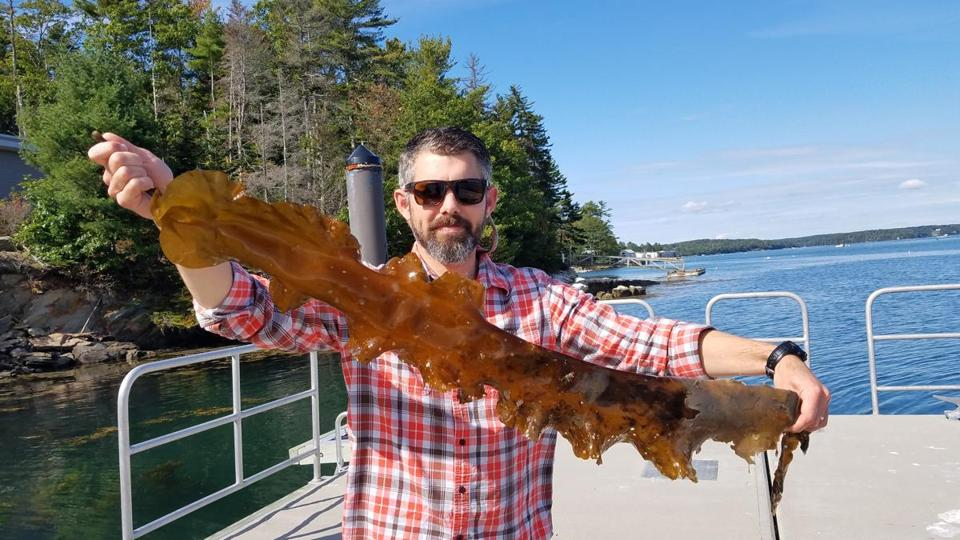 Doug Rasher, a research scientist at the Bigelow Laboratory of Ocean Sciences in East Boothbay, showed a stripe of kelp covered with a damaging parasite.