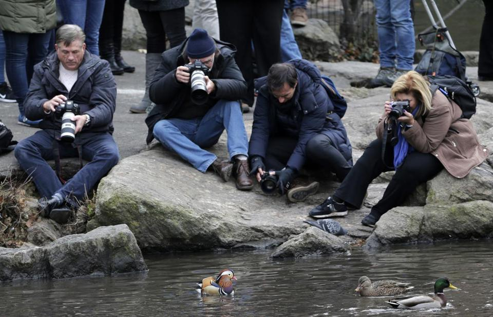 In the weeks since this Mandarin duck appeared in Central Park, it has become a celebrity.