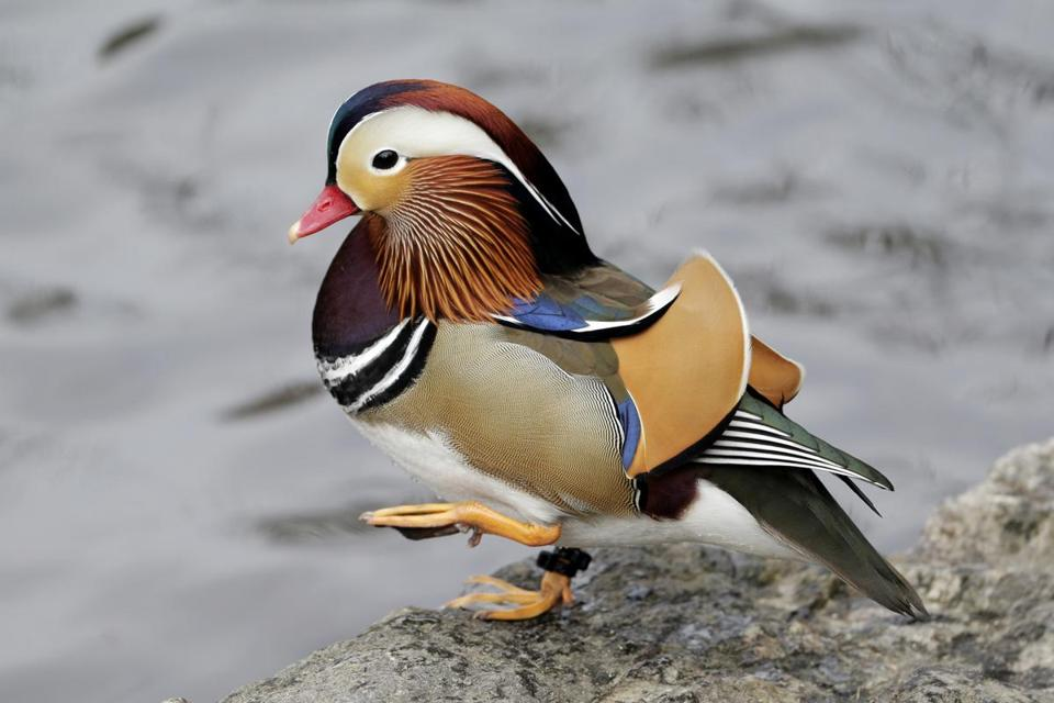 Central Park's colorful Mandarin duck.