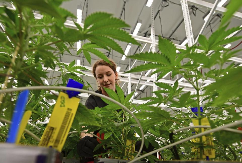 Carmen Fultz, an employee of Buckeye Relief LLC, sorting the male and female marijuana plants inside a Veg Room, Thursday, Sept. 20, 2018, in Eastlake. One of Ohio's large-scale medical marijuana cultivators expects to sell the state's first legal pot to licensed dispensaries sometime in December. Buckeye Relief LLC, planted its first seeds July 31 after the state granted the company permission to begin growing pot for Ohio's fledgling medical marijuana industry. (AP Photo/David Dermer)