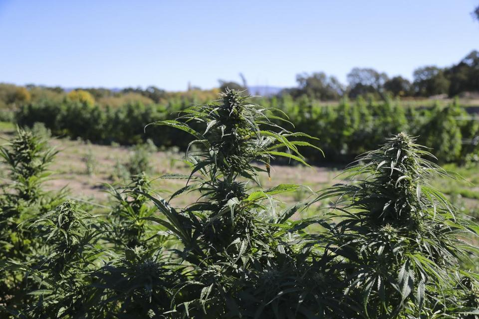 Cannabis buds at New Family Farm in Sebastopol, Calif., Oct. 19, 2018. When Californians voted to legalize recreational marijuana in 2016, lawmakers did not anticipate the uproar that would be generated by the funk of millions of flowering cannabis plants. (Jim Wilson/The New York Times)