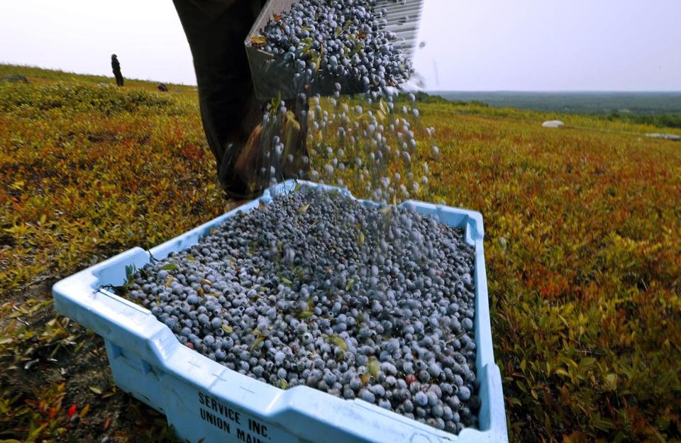 A worker poured wild blueberries into a tray at a farm in Union, Maine, last August.