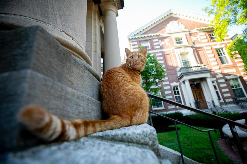 Despite being a cat, Remy is seen hanging out near Harvard's Barker Center.