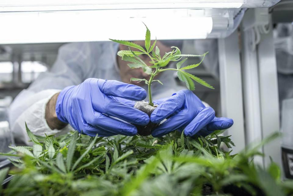 In this Jan. 23, 2019 photo Cannabis seedlings are cared for by a worker in a green house of the cannabis cultivating and processing plant of BOL Pharma – Revadim Industrial Center in Lod, Israel. According to a report published Sunday, Jan. 27, 2019 by Ynet, the news site issued by the Israeli newspaper Yedioth Ahronoth, the Israeli government has permitted the export of medical marijuana and products made of cannabis. According to preliminary estimations the export of medical marijuana and medicines made of cannabis may result in a yearly income of four billion sheleks, cca. 955 million euros for Israel. (Bea Kallos/MTI via AP)