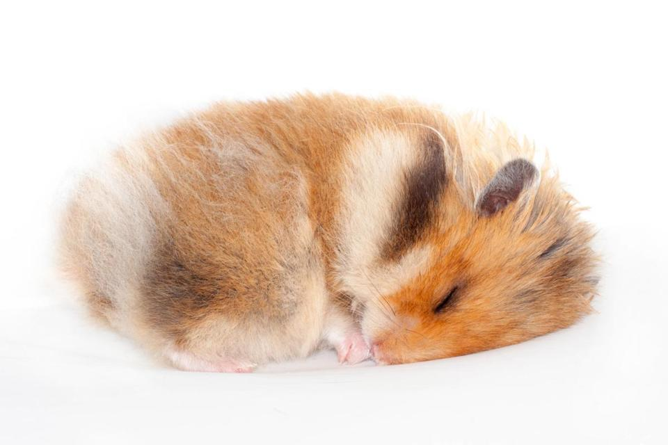 cute funny Syrian fluffy hamster lies and sleeps. isolated on white background
